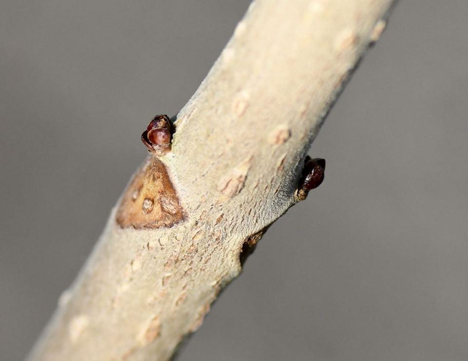 冬の栃の木、冬芽と葉痕。