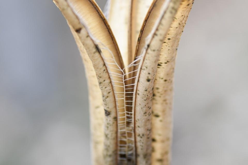 タカサゴユリの花殻