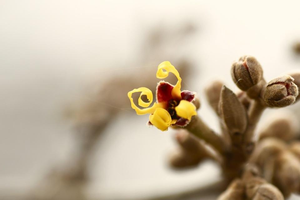 マンサクの花が咲き始めた。 border=