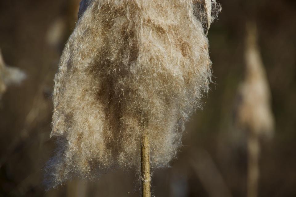 ガマの穂、蒲の穂は綿の如くフワフワ。