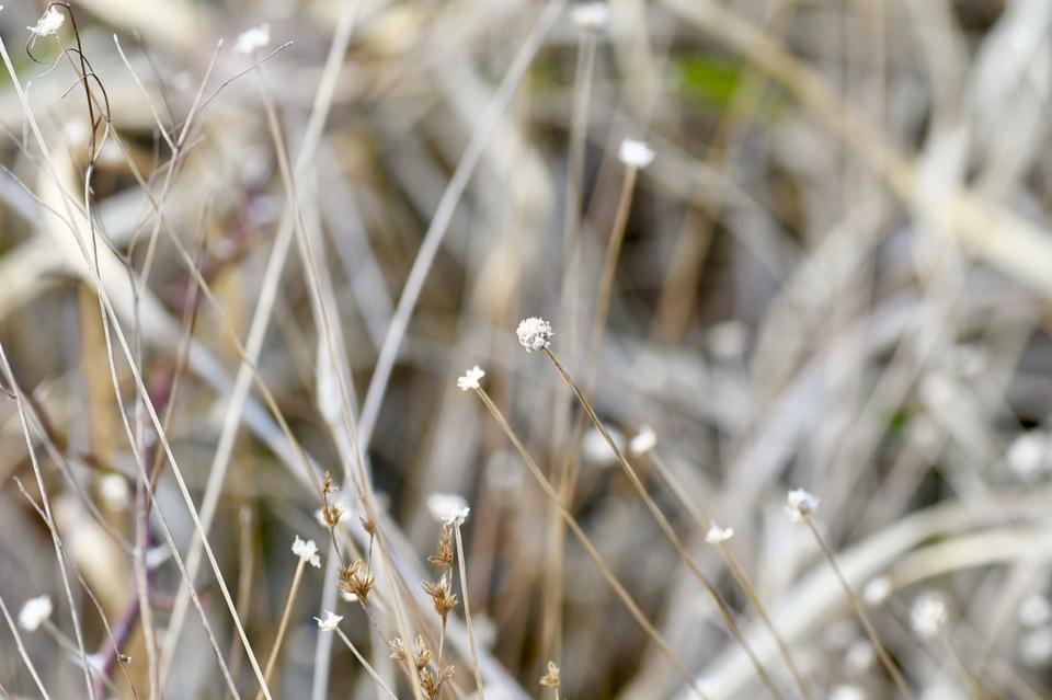 冬のシラタマホシクサ