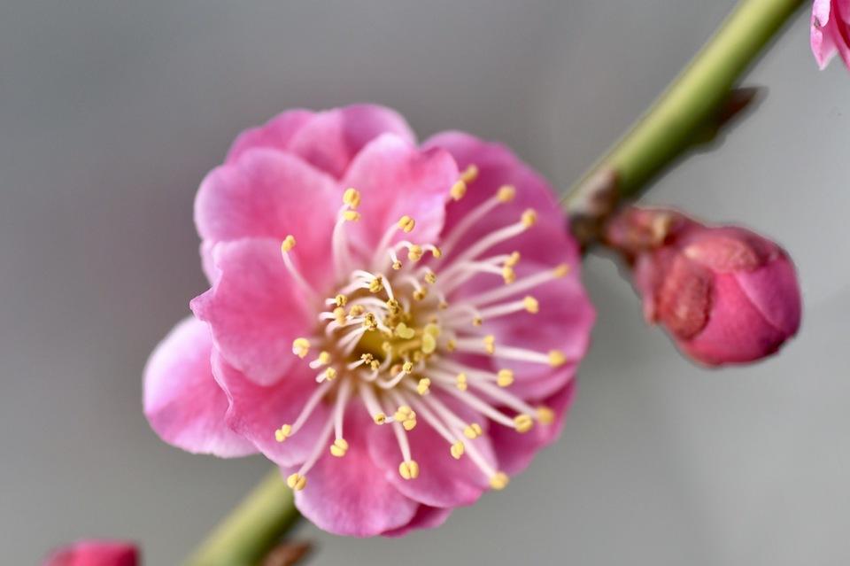 まち中に鮮やかに咲く八重紅梅 border=