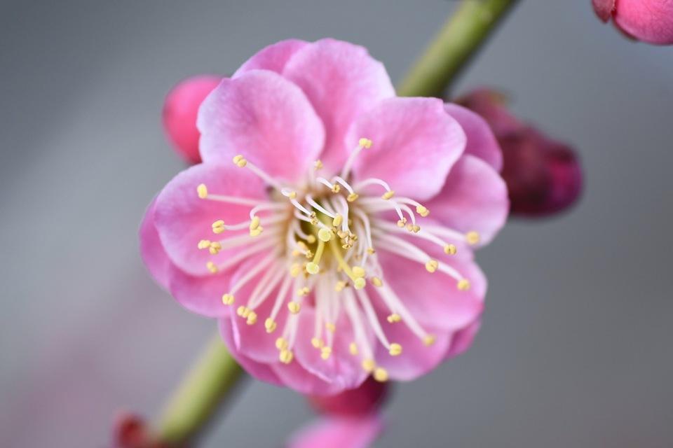 まち中に鮮やかに咲く八重紅梅