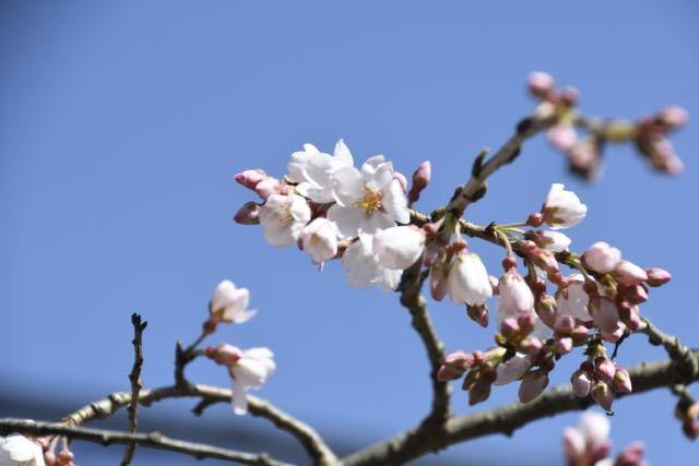 桜が咲いた、桃山お薬師さん。 border=