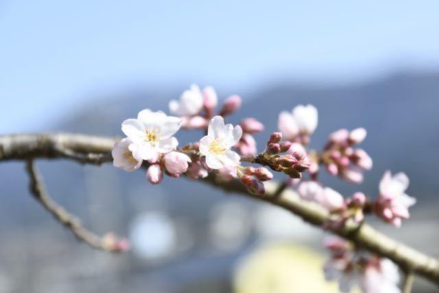 桜が咲いた、桃山お薬師さん。