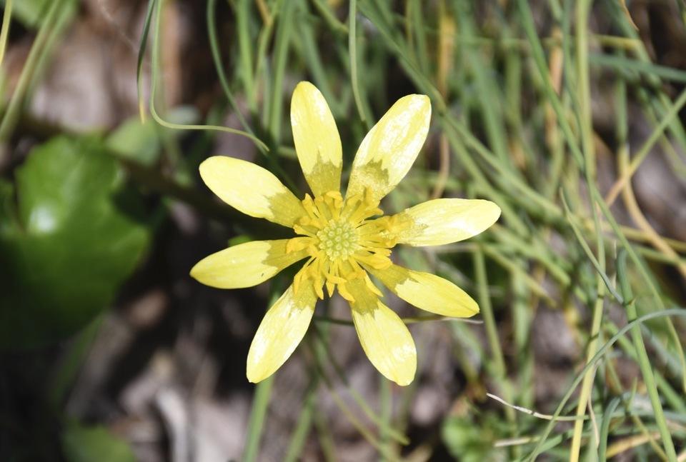 キクザキリュウキンカは漢字で菊咲立金花、別名が姫立金花と言うらしい。