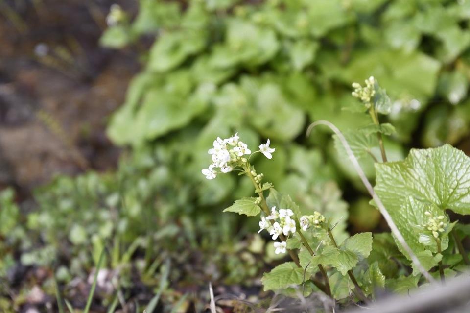 医王寺の芭蕉池に花ワサビ