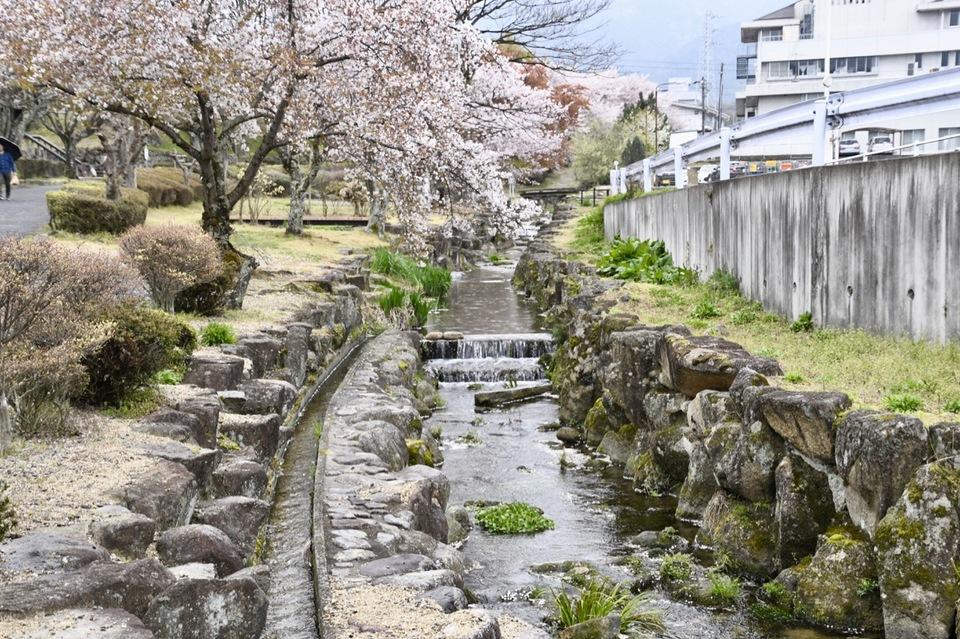 満開の桜に冷たい花散らし雨 border=