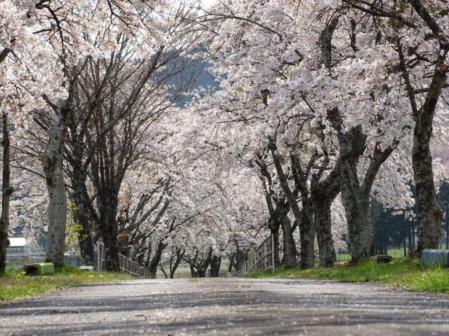 染井吉野の桜トンネル、今なら‼︎ border=