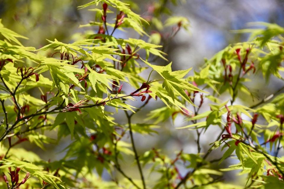 今、イロハモミジの緑の新葉と赤い花芽。夜がらす山荘 長多喜の春