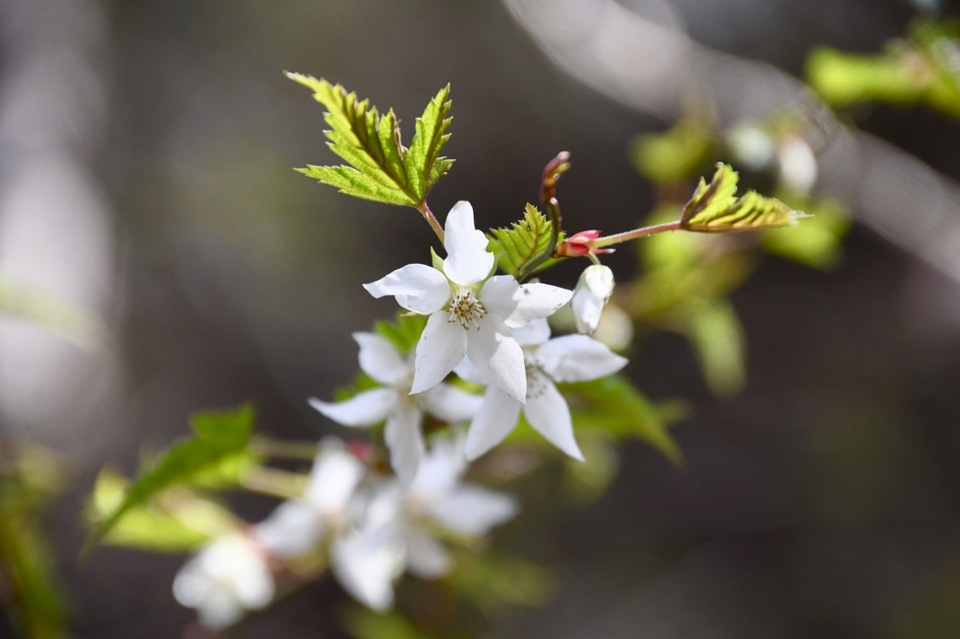 シンプルで可憐な白花はモミジイチゴ、木苺の代表。 border=