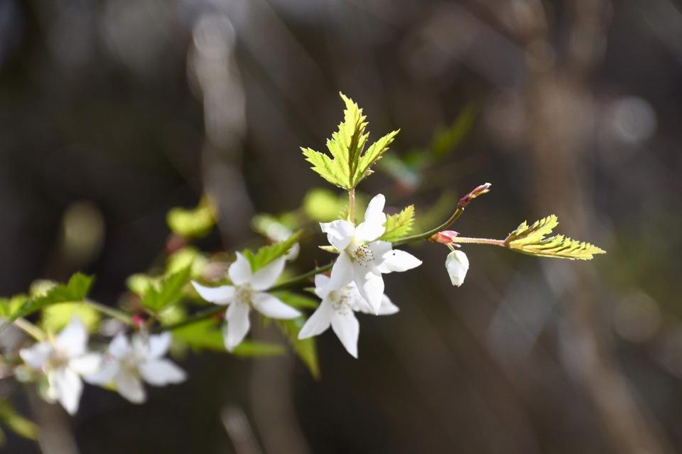 シンプルで可憐な白花はモミジイチゴ、木苺の代表。