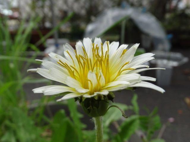 シロバナタンポポが咲きました。 border=