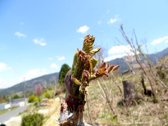 天然タラノメ山、