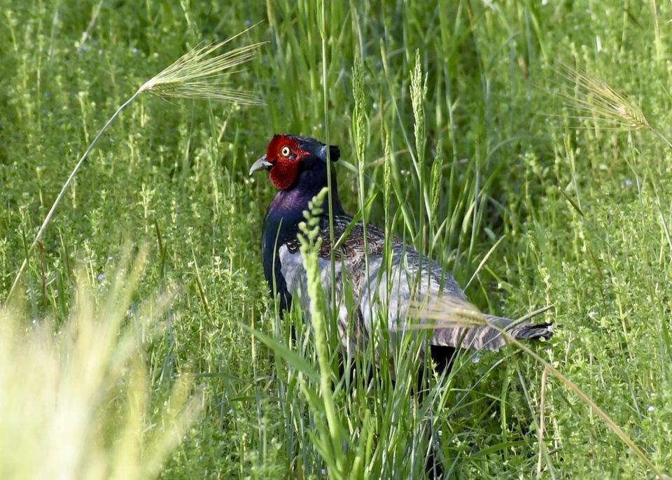 日本の国鳥、雉子。 border=