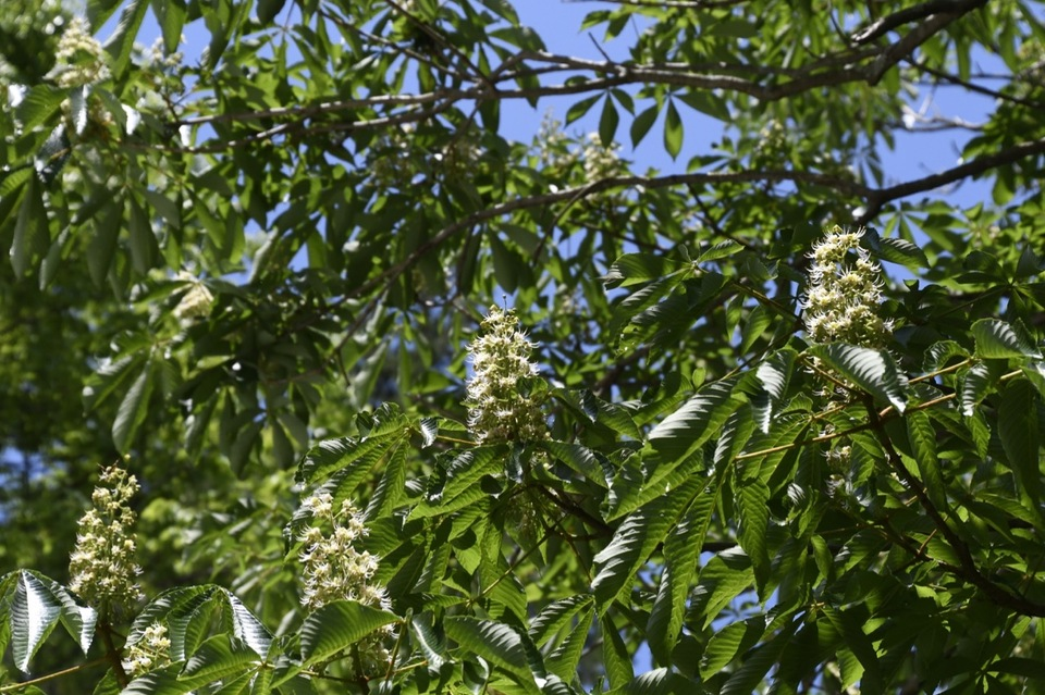 恵那山麓では巫女鈴の様な栃の花が咲き始めました。