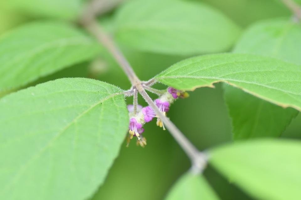 ムラサキシブの花が咲いています。