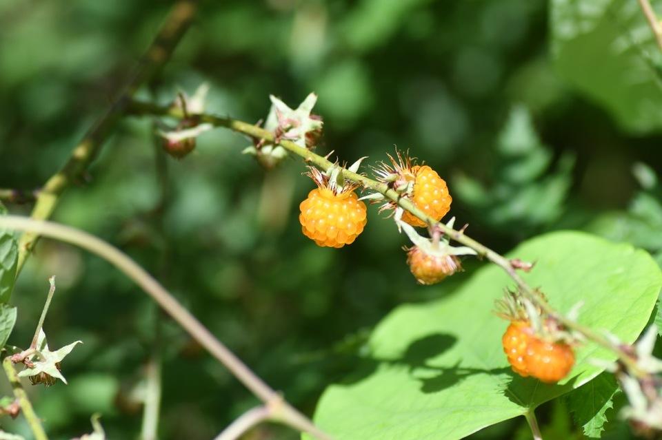 山の恵み、モミジイチゴは別名黄苺。