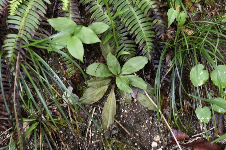 果実が付き始めたシライトソウのブラシ花と根生葉のロゼット。
