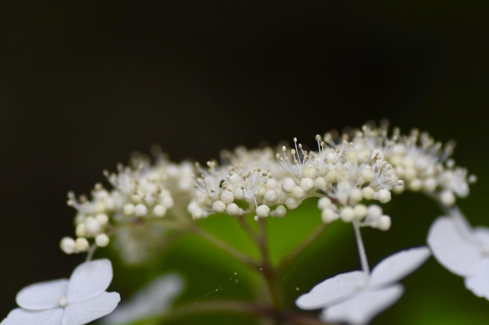 恵那山麓の草花、ノリウツギは白花。