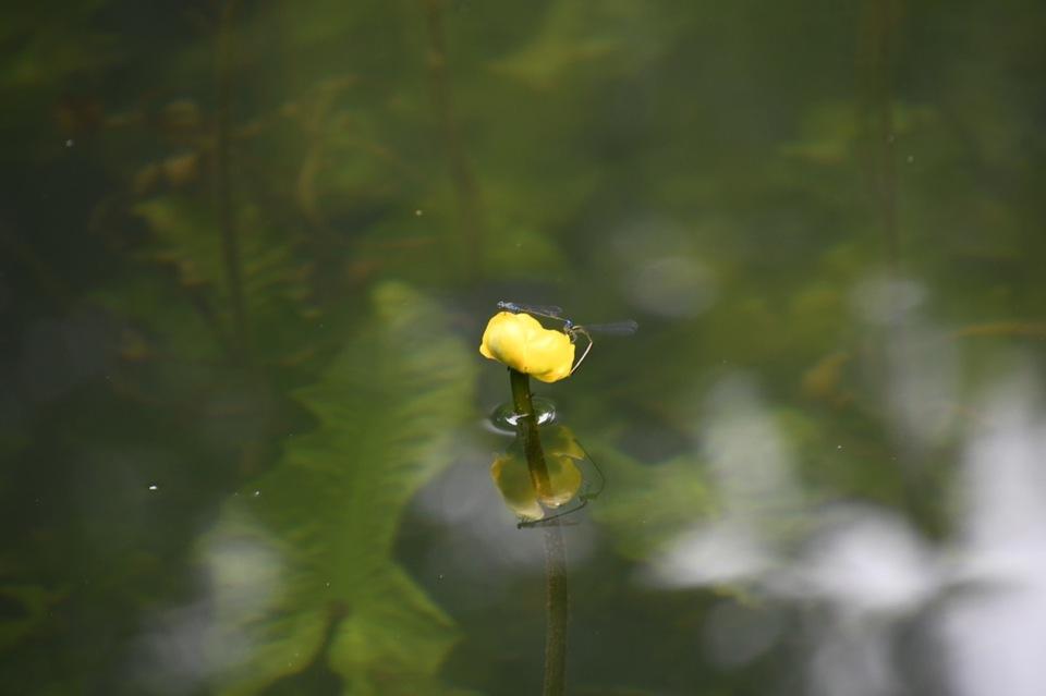 恵那山麓の草花  コウホネ池のイトトンボ