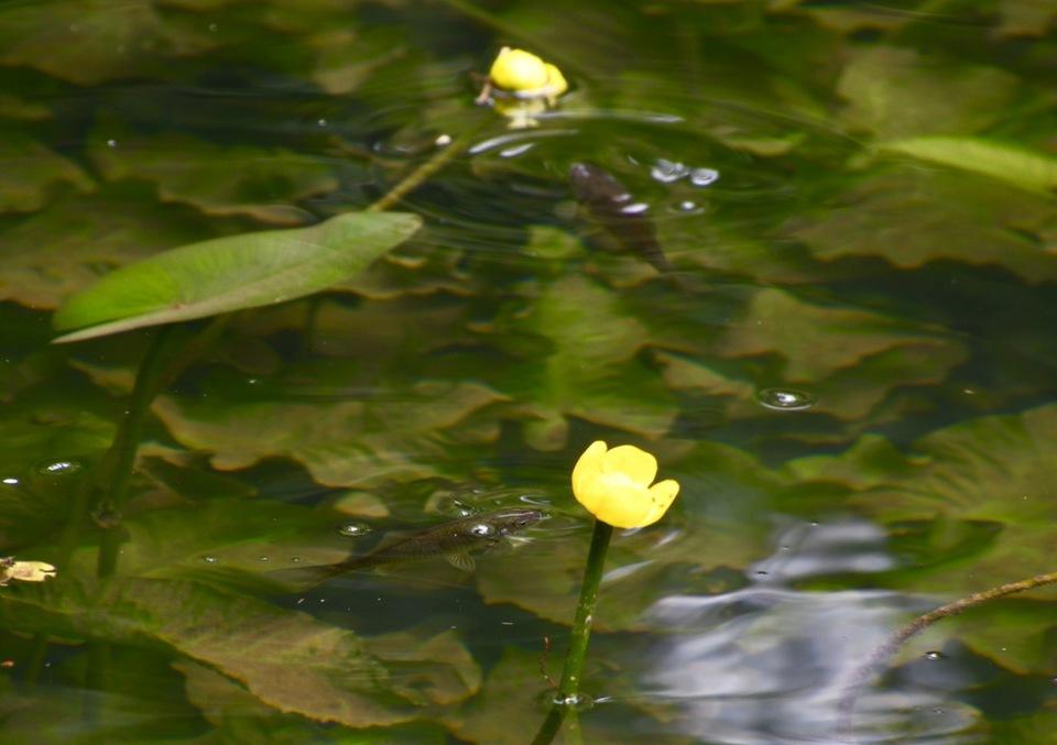 コブナ遊ぶコウホネ池、