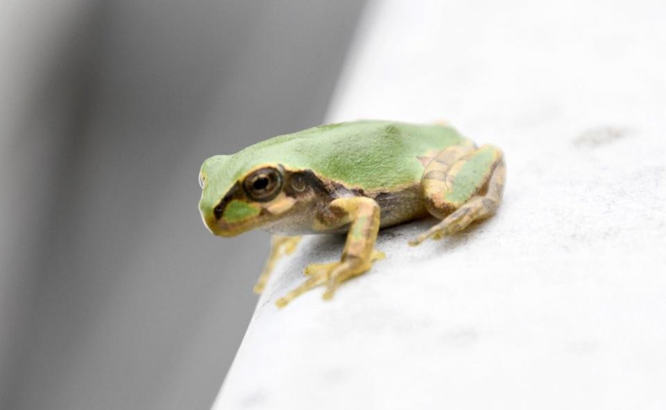 雨蛙が申しております、 border=