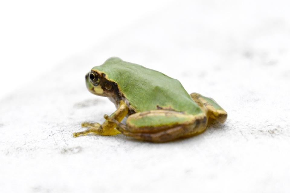 雨蛙が申しております、