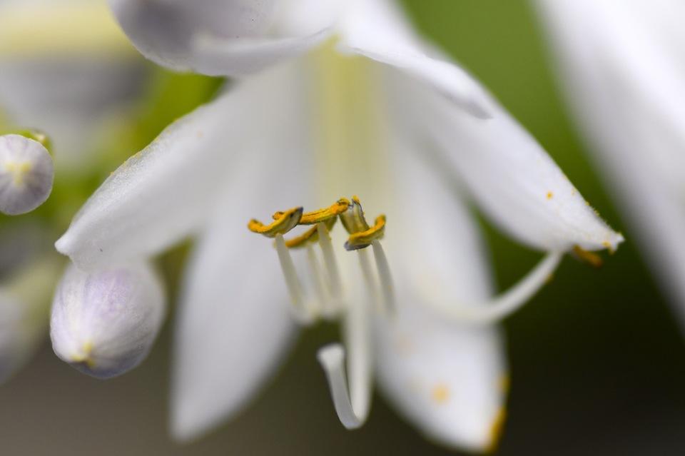 オオバオオバギボウシが満開になりました、ラッパ状の花が美しく連なり咲きます。