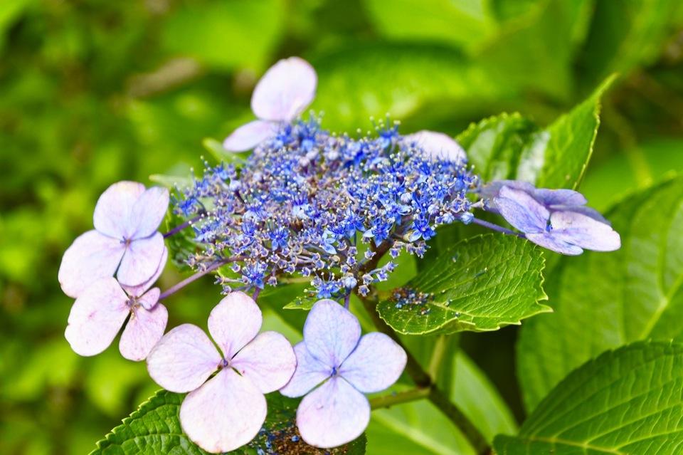 恵那山麓の草花 酷暑の中で可憐に咲く「ガクアジサイ」