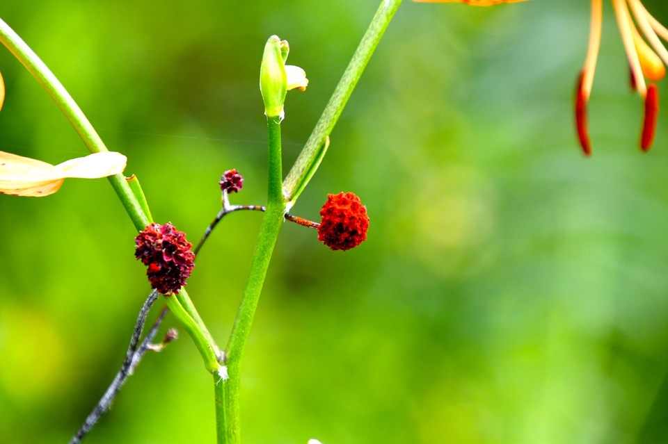 恵那山麓の草花 ワレモコウは漢字で吾亦紅、吾木香、我吾香、我も恋