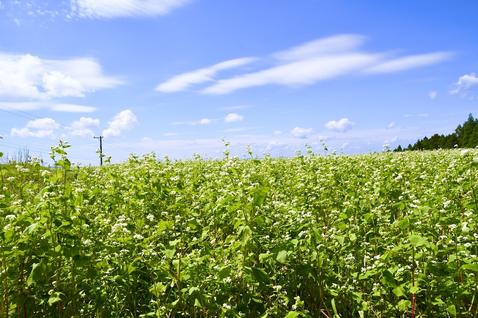 清々しい阿木の空、青空と秋の雲と蕎麦の花。 border=