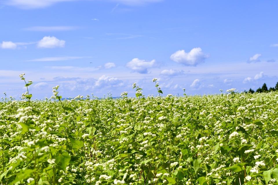 清々しい阿木の空、青空と秋の雲と蕎麦の花。