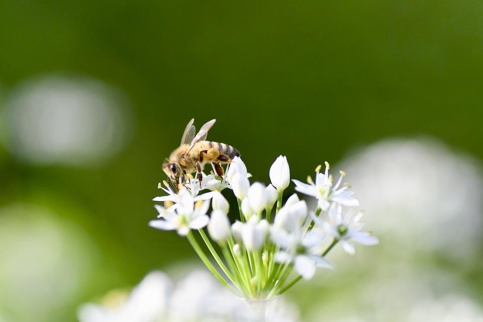 ニラの花と日本ミツバチ border=