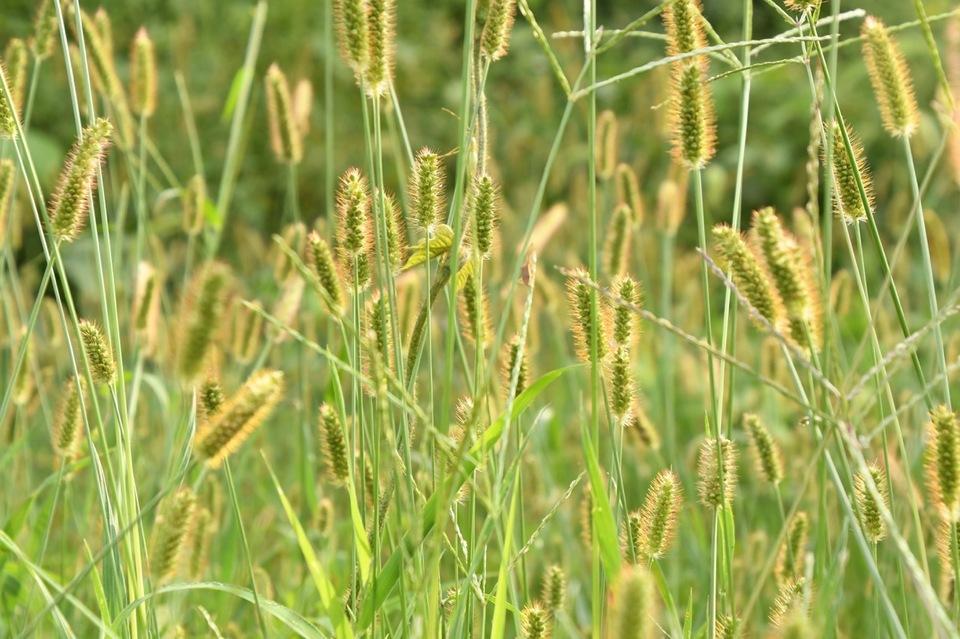 恵那山麓の野草 キンエノコログサは漢字で金狗尾草。