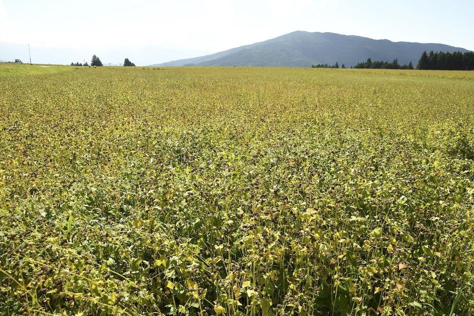 新蕎麦の実りの風景、椛の湖そば畑.