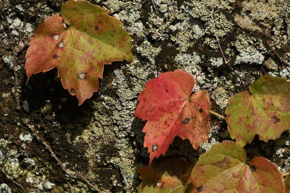 庭石の古苔に蔦紅葉