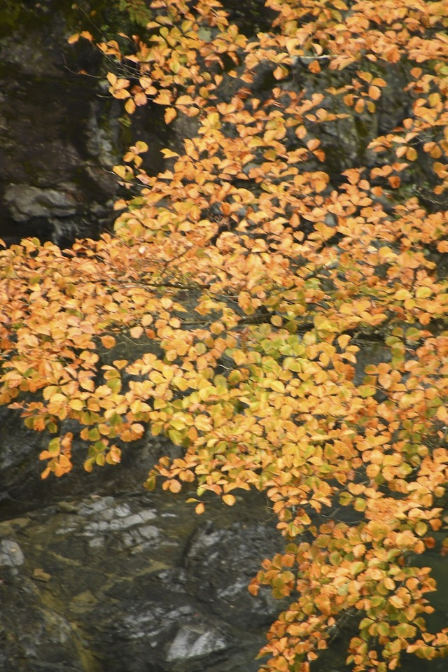 付知峡攻め橋の紅葉始まる