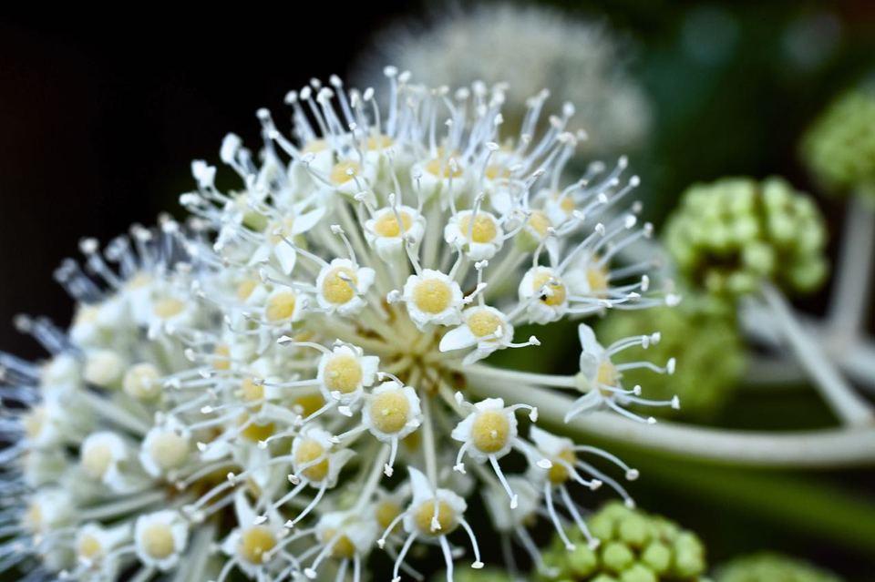 ヤツデの花、漢字で八手、別名がテングノハウチワ。