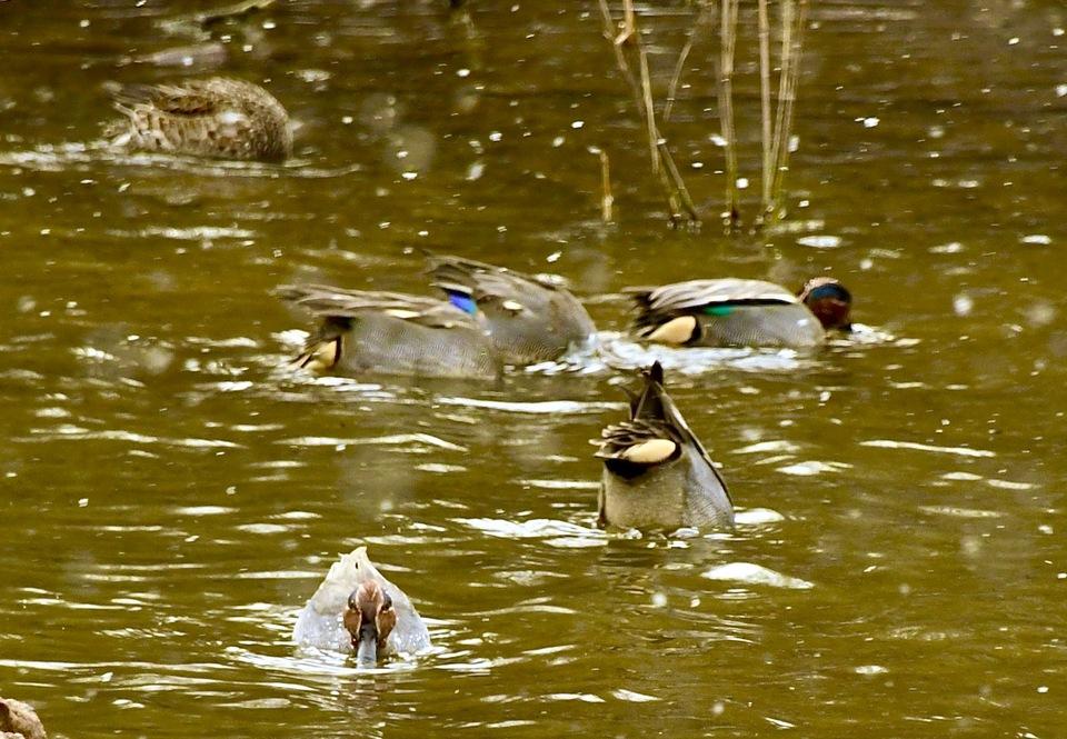 中津川市西山神谷池の水鳥たち