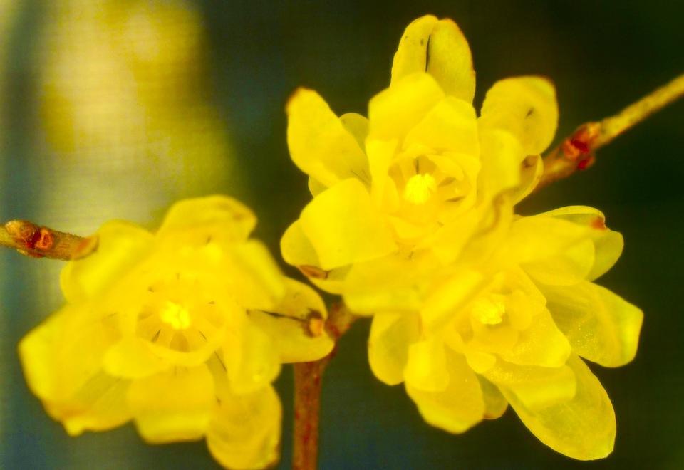 ロウバイ は漢字で蝋梅、透明感のある薄黄色の花と香りはそろそろ終わり