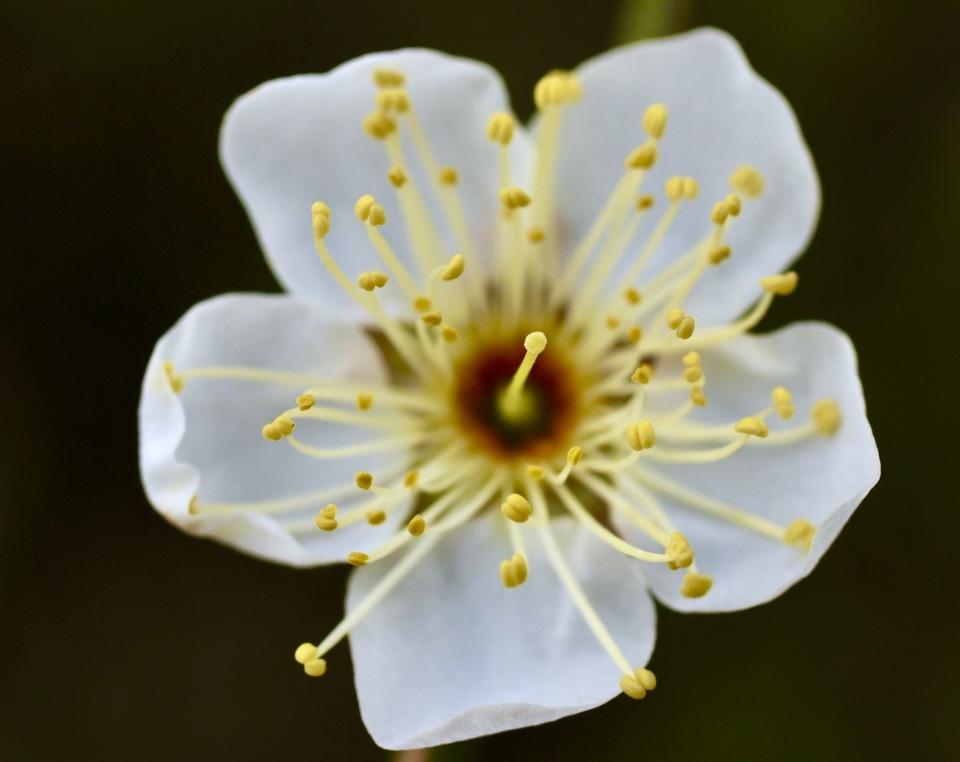 長多喜、早梅(そうばい)の花が咲き始めました。