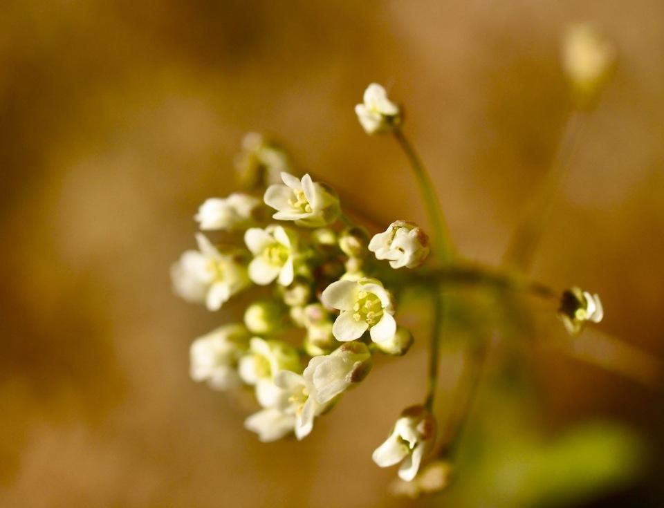 中津川の春の野草 ぺんぺん草の花