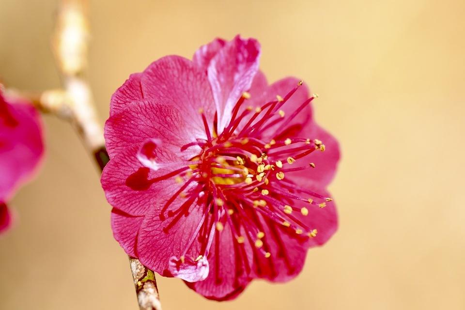 真っ赤な花、紅梅。