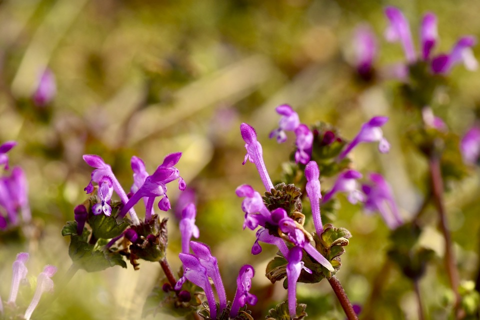 咲き誇るホトケノザの群生地