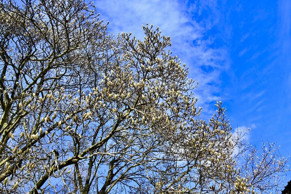 今年も沢山の蕾が付いた、中津川市北野長久寺コブシの大木。