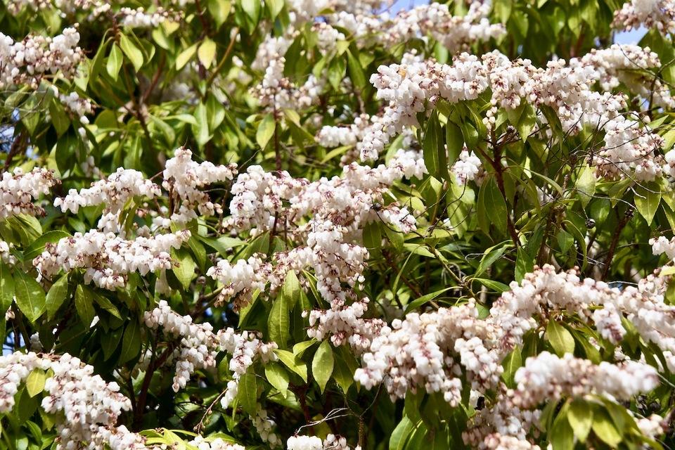 アセビの花穂が滾れ落ちそうなくらい超満開。