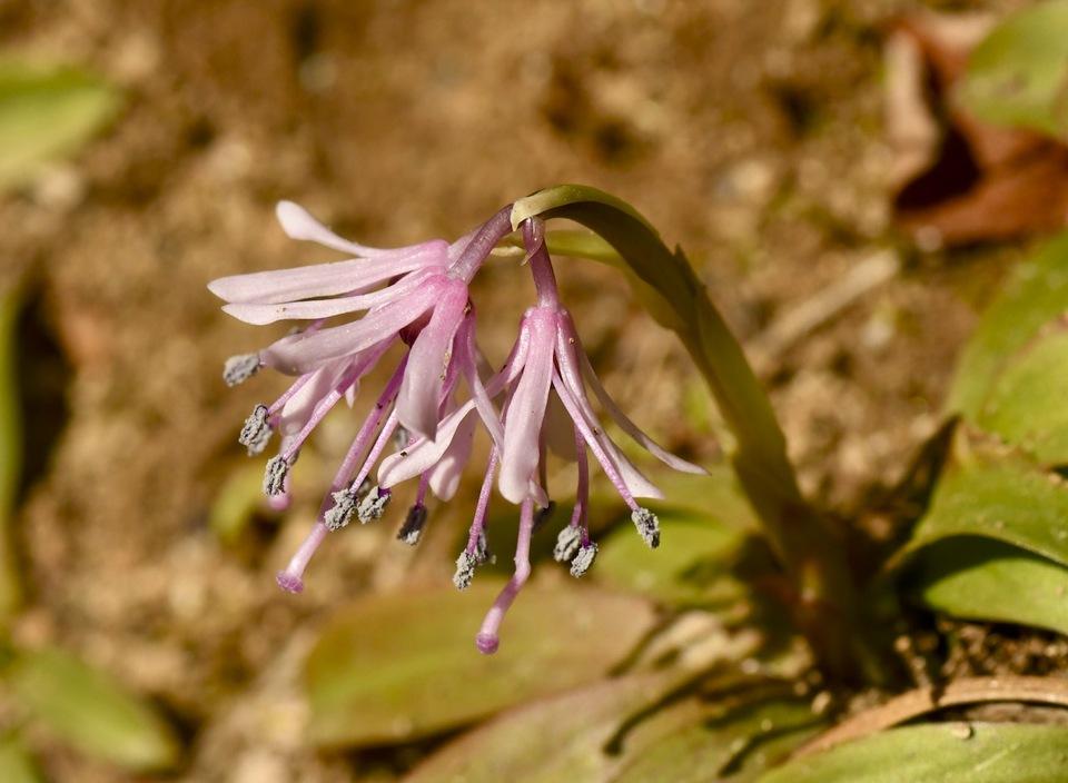 夜がらす山荘 長多喜、一番咲きショウジョウバカマは綺麗なピンク色。