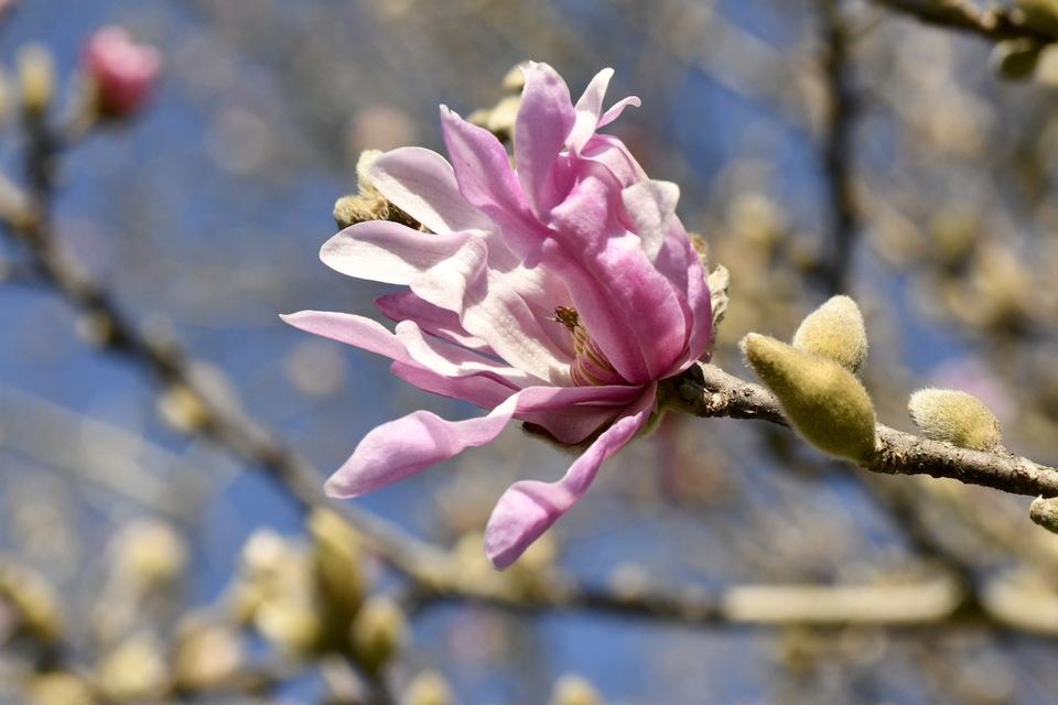 艶やかなピンク色がヒラヒラ咲き始め、石畳、医王寺のシデコブシ。