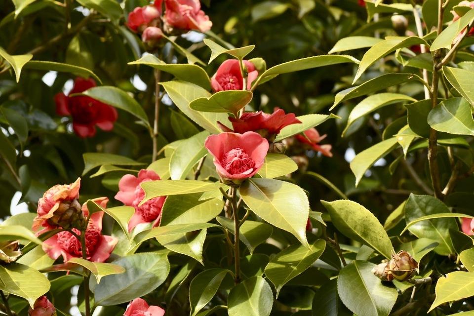 椿の紅花八重咲き